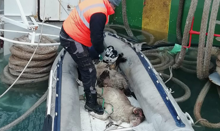 Rescued but grievously injured sheep in a lifeboat.