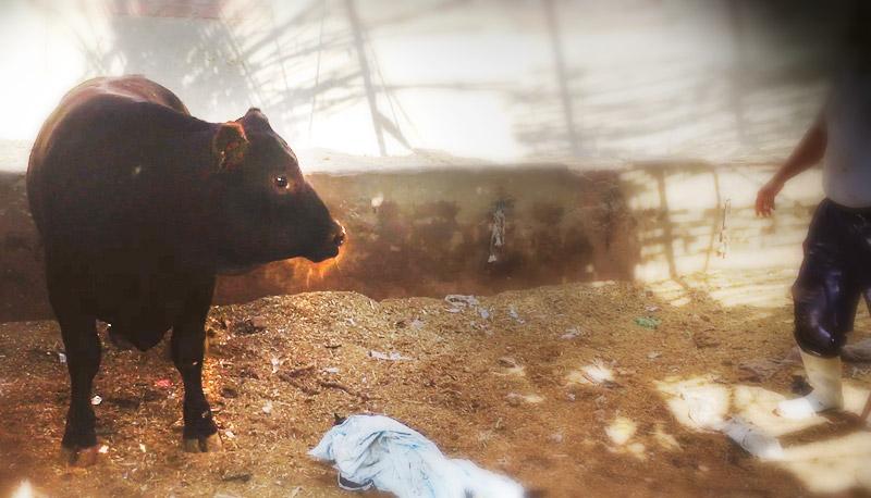 Young black Uruguayan bull
