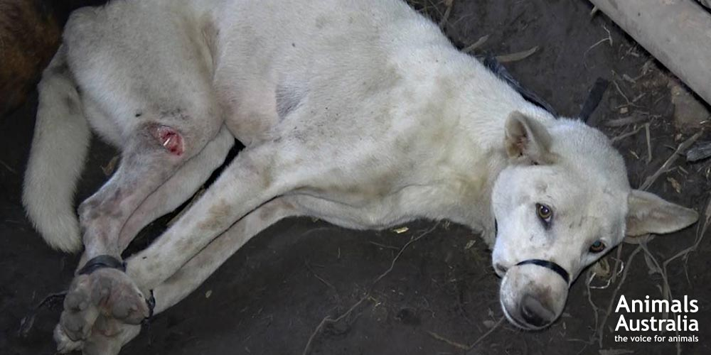 Bali dog meat investigation - The suffering of dogs as they await slaughter is extreme.