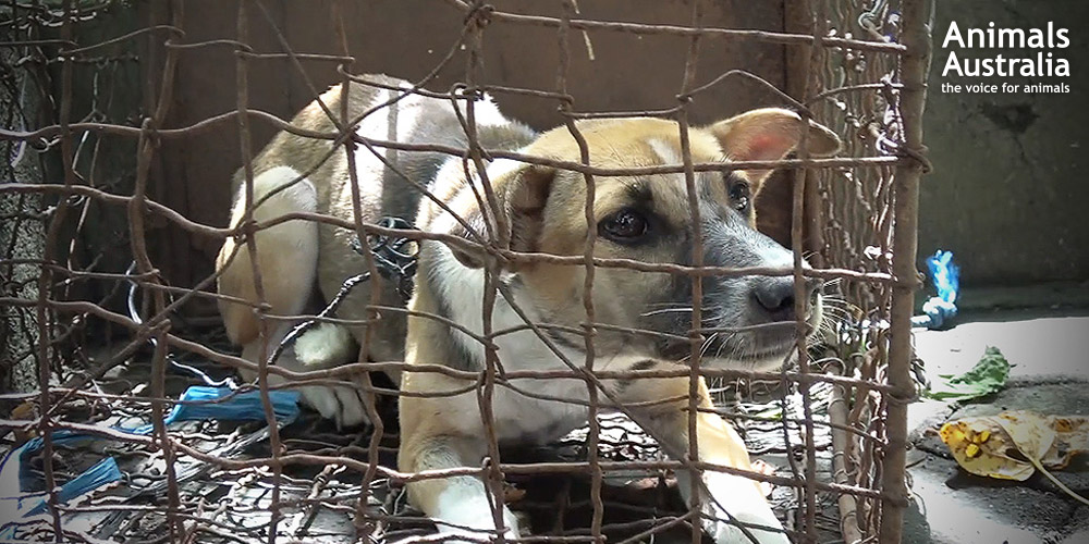 Thanks to compassionate people all around the world taking action, cages like this one will never again hold a frightened dog awaiting slaughter.