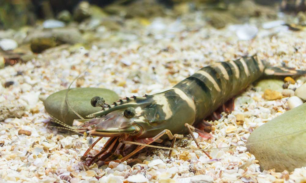 Prawns travel in 'schools' and communicate with one another using snapping, clicking sounds. Some species have been known to form mutually beneficial relationships with other sea animals. Studies have found that prawns are able to innovate and solve problems to get food.