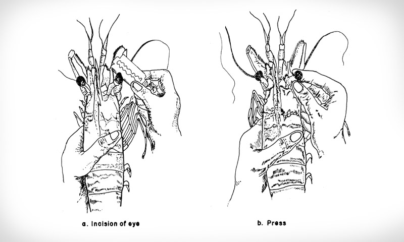 Eyestalk ablation illustration from the Food and Agriculture Organisation of the United Nations' Shrimp Hatchery manual.