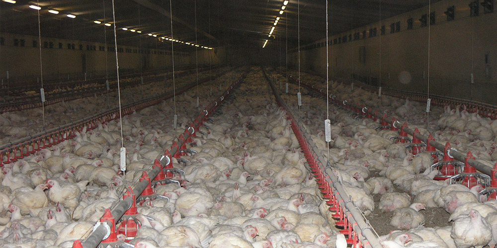 Thousands of white broiler chickens on the ground inside a huge shed