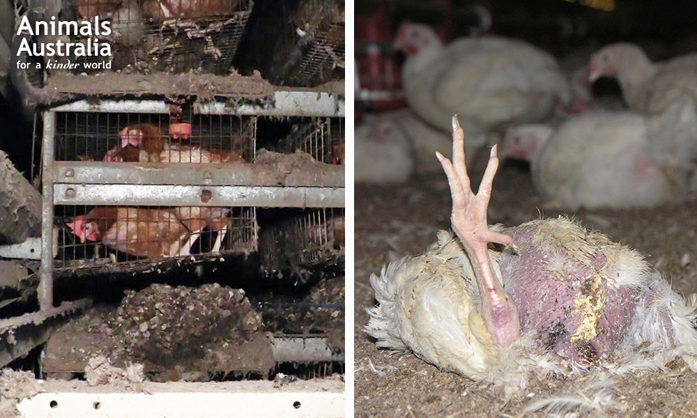 Battery hens in filthy cages and a dead chicken raised for meat lying next to live animals in a factory farm