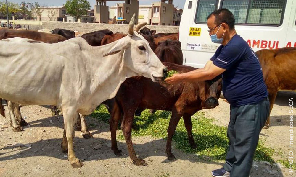 A man feeds a group of hungry cows in Delhi, India - Friendicoes SECA