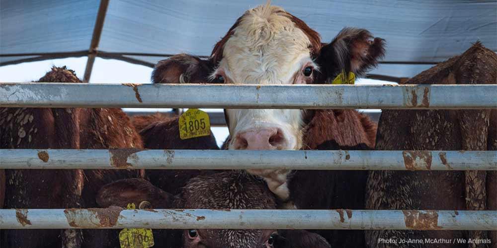 1000x500_liveexport-cattle-jomcarthur.jpg