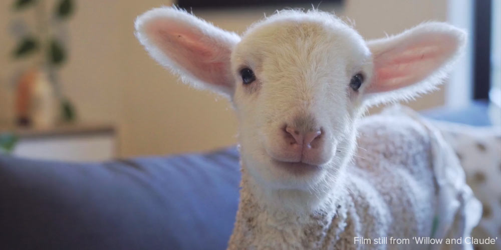 Once of Emmas rescued lambs looking at the camera, warm and cosy