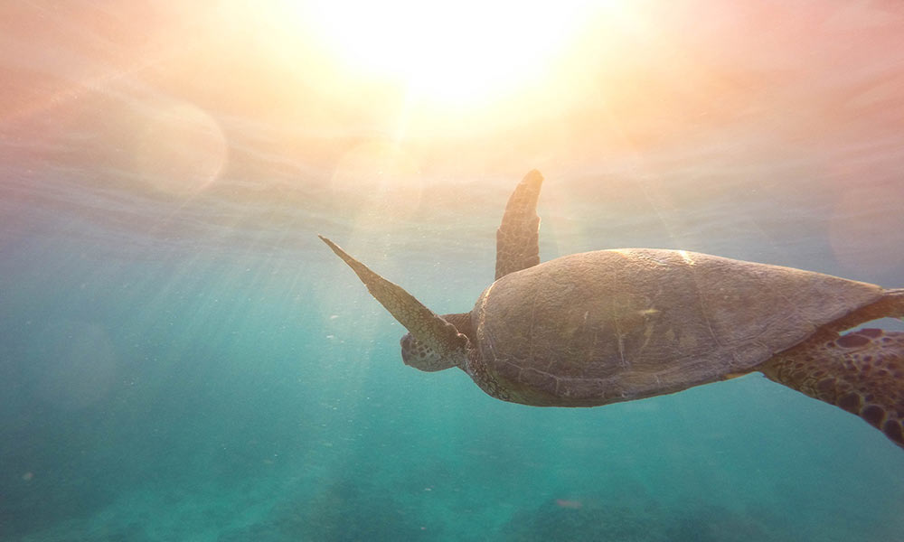Thousands of turtles and other animals suffer and die in prawn trawling nets every year.  Photo: Jeremy Bishop/Unsplash.