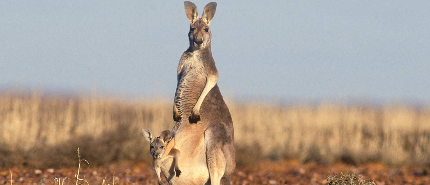 end the commercial kangaroo slaughter
