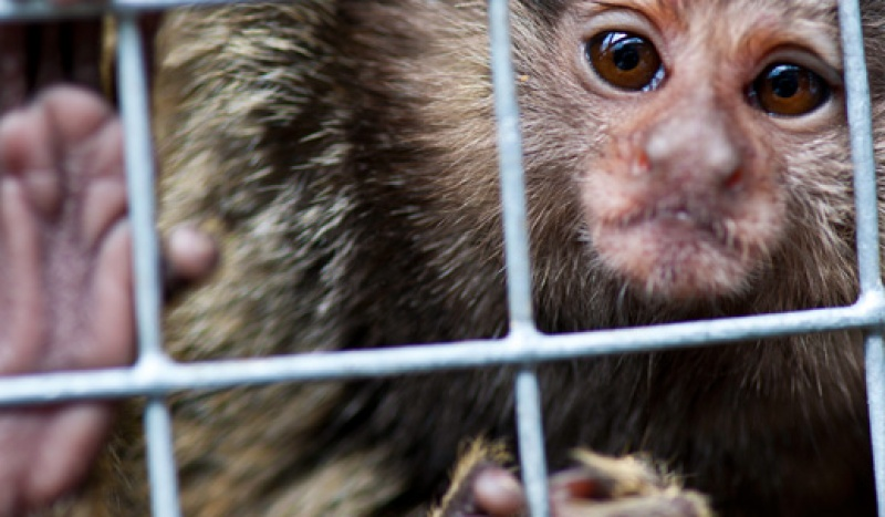 8 young marmosets each had one eye removed for dissection and study -- and were then killed. There was no benefit to humans whatsoever in this experiment -- none of the information gained can be extrapolated to other primates, let alone humans. Researchers didn't explain why they killed 8 animals to study four eyes, or why they didn't use human eyes donated for medical research which would have not only prevented the unnecessary deaths of these marmosets but garnered information that would have been useful.