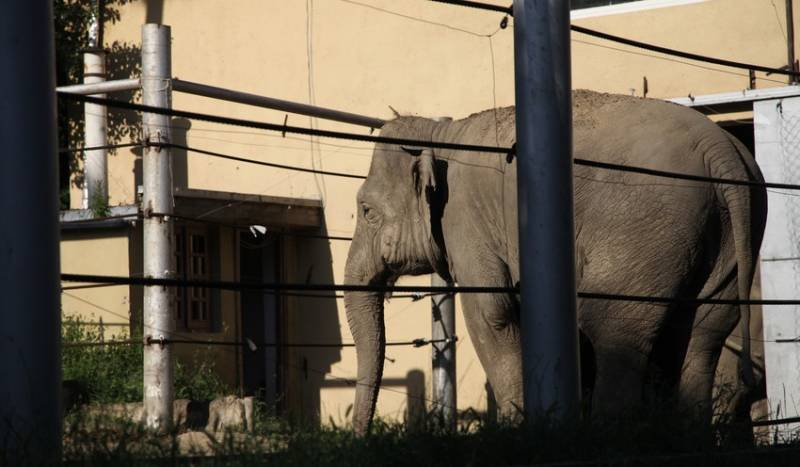 An elephant who survived the flood stands behind bars at Tbilisi Zoo. In the wild, elephants roam anywhere up to 60 km per day.