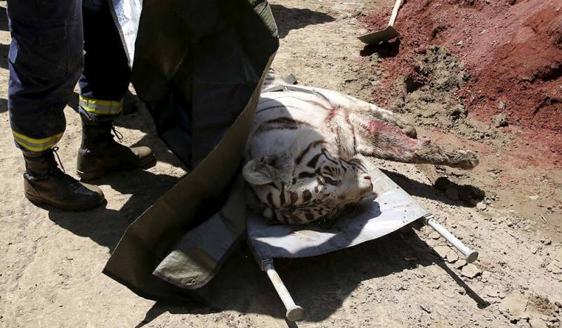A white tiger was shot and killed.