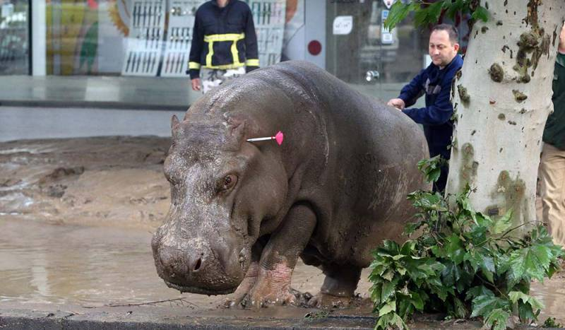 Begi the hippo had been wallowing in the mud and munching leaves from low hanging branches.