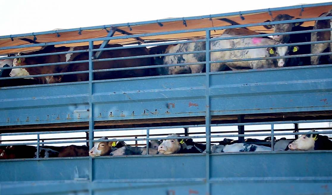 Young animals stand for hours or even days on crowded trucks.