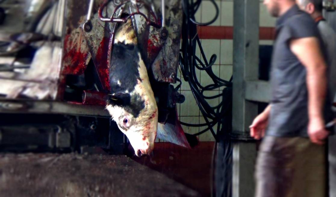 In 'slaughter boxes' animals are killed while fully conscious.