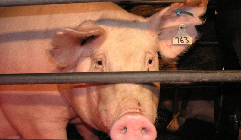 Pregnant pigs can legally be confined in 'sow stalls' 1cm longer and wider than their actual bodies. They are barely able to move and are totally unable to turn around.