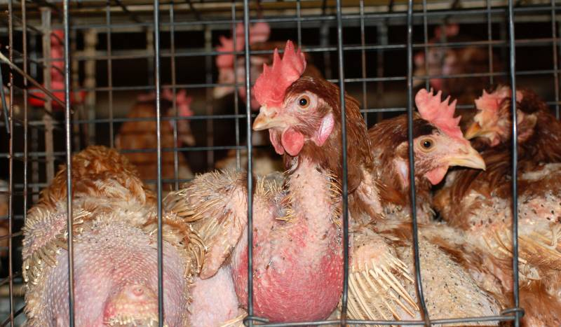 Battery hen cages are still used in Australia. Up to 5 birds are crammed into each tiny wire cage, each given a 'living' space smaller than 1 A4 page - not even enough room to spread their wings.