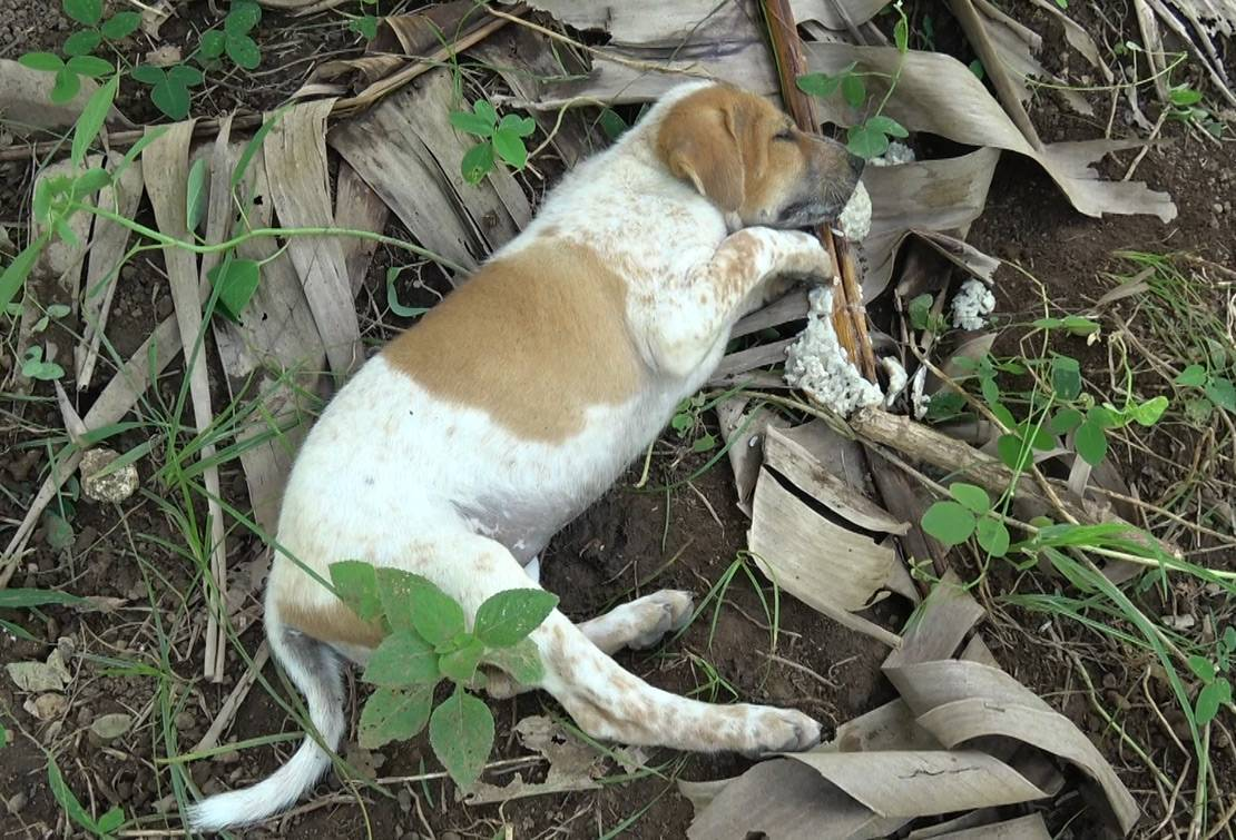 Poisoning is another method of slaughter in Bali. Dogs  suffer excruciating, slow deaths. 'Poisoned meat' is then sold for human consumption.