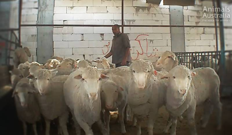 The Kuwaiti market where we found these sheep is notorious for cruelty and Australian animals are meant to be 'banned' from sale...