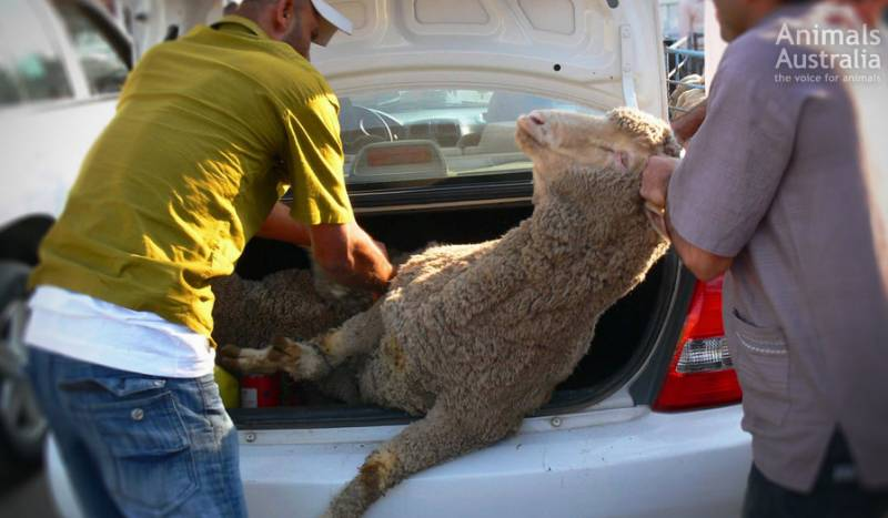 The Australian government has failed to stop illegal breaches. While, legally, all animals will still face painful slaughter by throat cut while fully conscious.