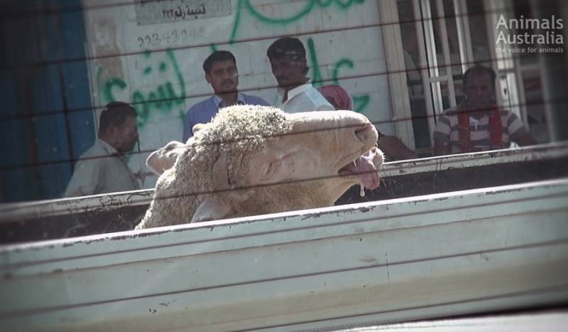 As temperatures soar, truck beds radiate heat. Each year we've found Australian sheep in the throes of extreme (and deadly) heat stress.