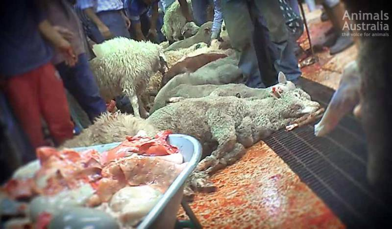 This is an 'Australian-approved abattoir' in Kuwait in 2014 — with fully conscious Aussie sheep lined up and slaughtered over a 'blood drain'.