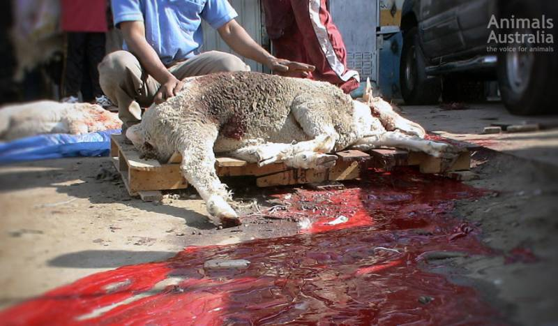 The reality is that every Australian sheep sent to Kuwait will suffer a bloody and agonising death.