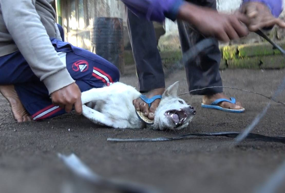 Dogs are caught with crude wire nooses before being bound and 'bagged' for transport.