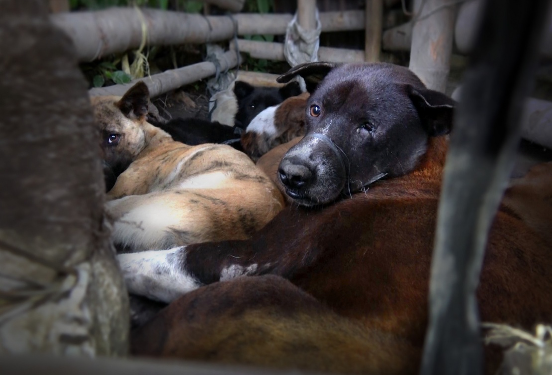 Exhausted, afraid and suffering injuries inflicted by their captors. Dogs are kept in 'holding pens' before being slaughtered in full view of their companions.