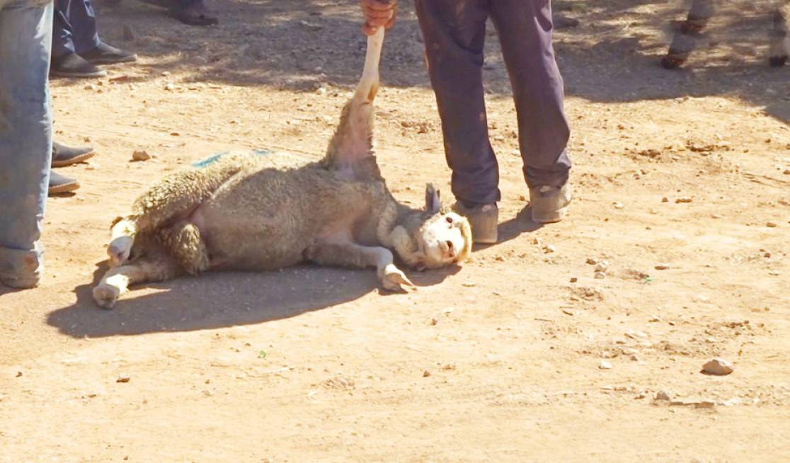 Sheep are thrown and painfully dragged by their ears, horns, or a single limb.