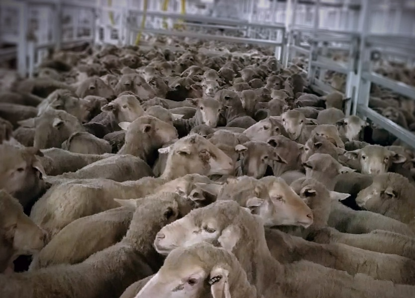 Animals are packed so tightly that it's unsafe to lie down to rest for fear of being trampled. Sheep on live export ships are confined like this for weeks on end.