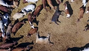 Many sick and injured cattle die unaided and without veterinary intervention