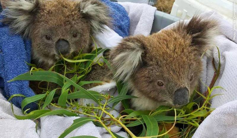 These two rescued koalas enjoyed a very well-earned meal after having their injuries treated.