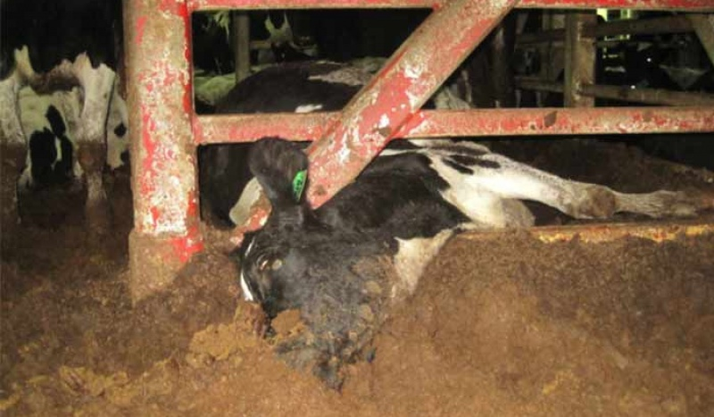 A dairy cow who suffered and died on board a live export ship