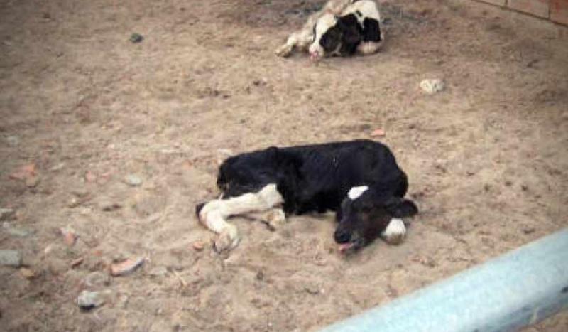 Dying dairy calf in Qatar
