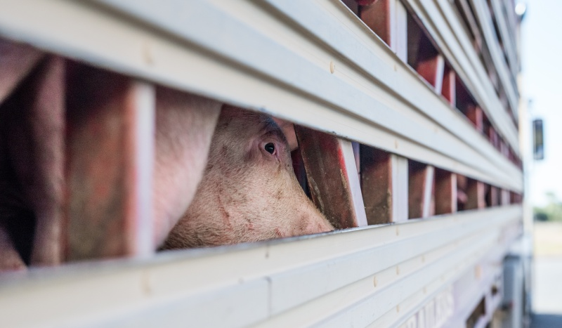For most pigs in Australia, who are raised in factory farms, the first time they see the sky or breathe fresh air is often on the way to the slaughterhouse.
