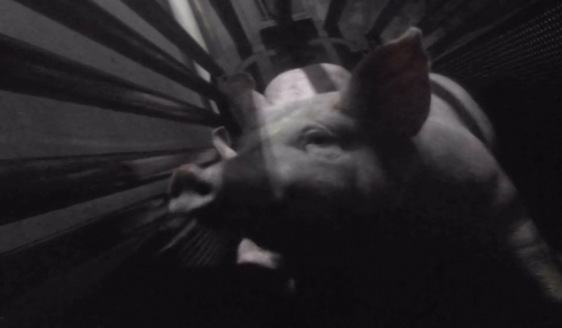 Whether factory farmed or free range, though, almost all commercially slaughtered Australian pigs will spend their final moments in a gas chamber 'gondola'.