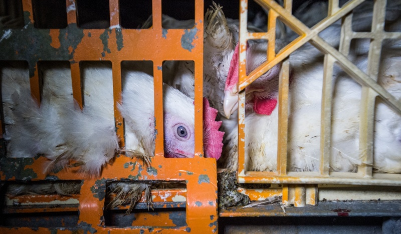 The fragile bodies of 'meat' chickens, who have been genetically modified to grow unnaturally fast and large, are susceptible to painful injury during the often-rough handling of catching and transport to slaughter.