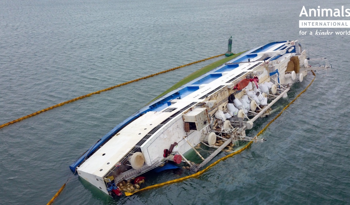 The Queen Hind sinks with 14,000 sheep on board in Midia Harbour, Romania