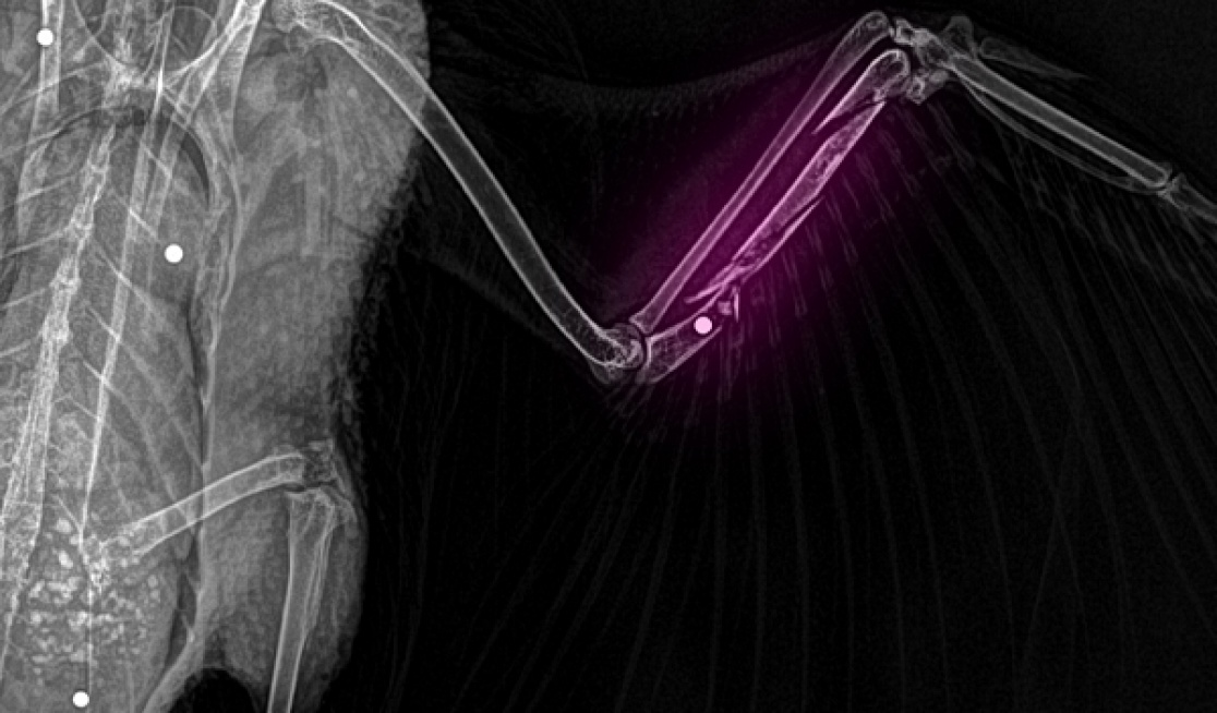 This duck was shot and left to die on the wetlands during the 2021 shooting season. Shotgun pellets shattered her fragile bones and were lodged in her organs. She was rescued by caring volunteers and humanely euthanised by a vet.                                Photo: Wildlife Victoria