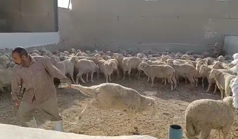Dragging sheep by their legs seems standard practice in this government approved facility